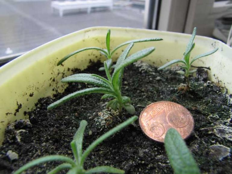 rozemarijn planten zaaien tot oogsten groenten kweken. Black Bedroom Furniture Sets. Home Design Ideas
