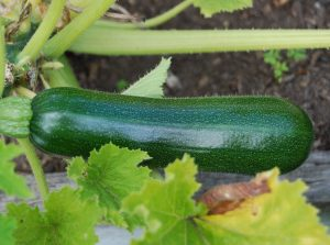 courgette oogsten