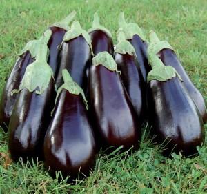 aubergine oogsten