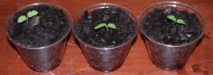 aubergine opkweken