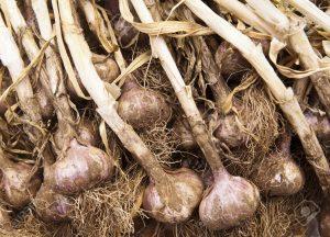 knoflook oogsten en drogen