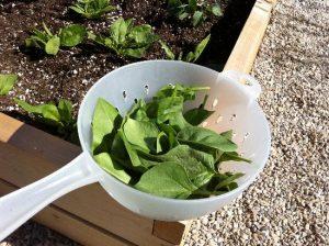 spinazie oogsten