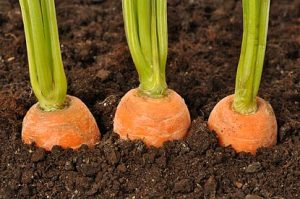 wortelen kweken