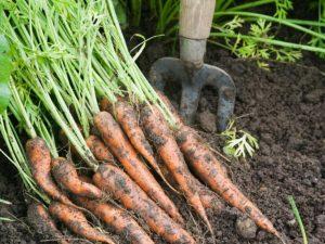 wortelen zaaien